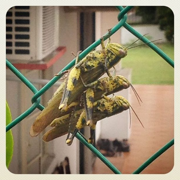 Bad things come in threes... grasshopper troupe spotted on the garden fence. Wham, bam, thank you ma'am spotted by @clarice.zyun photo by @syazanadzirah